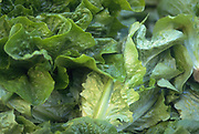 Close up selective focus photograph of some Romaine lettuce leaves
