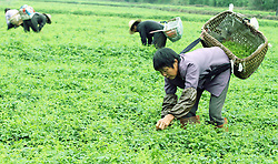 Farmers collect a Chinese herb in the field in Zhongfeng Town of Zhuxi County, central China's Hubei Province, June 6, 2015. June 6 marks the solar term of Grain in Ear and farmers here are busy with collecting ripe crops. EXPA Pictures © 2015, PhotoCredit: EXPA/ Photoshot/ Yan Yizhong<br /> <br /> *****ATTENTION - for AUT, SLO, CRO, SRB, BIH, MAZ only*****