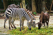 Zebra and water buffalo at the Singapore Zoo, Singapore, Republic of Singapore