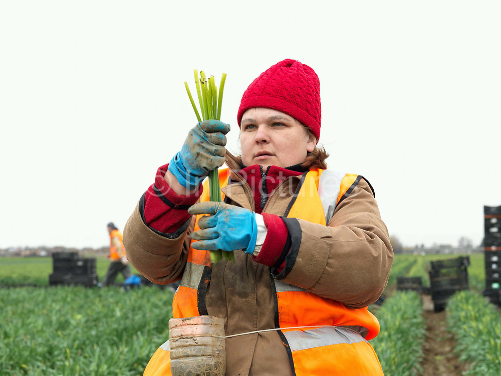 An Eastern European farm worker picking daffodils in a field farmed by commercial bulb grower Walkers Bulbs At Taylors, Holbeach, Spalding, Lincolnshire