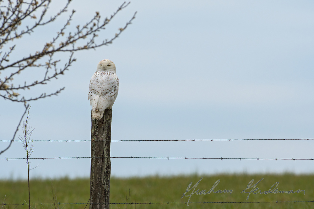 A Snowy Owl scans the fields from a fence post.