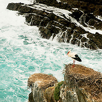 A stork nest at Cabo Sardão, where storks build nests on the cliffs by the sea