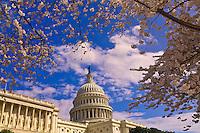 Cherry blossoms, U. S. Capitol, Washington D.C., U.S.A.