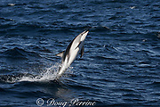 dusky dolphin, Lagenorhynchus obscurus, leaping from water, Kaikourua, South Island, New Zealand ( South Pacific Ocean )