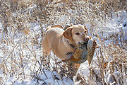 "Tom Taunton's Yellow Labrador retriever ""Rowdy"" pheasant hunting in South Dakota"