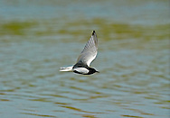 White-winged Tern - Chlidonias leucopterus