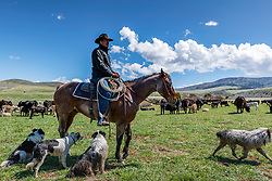 A rancher, his cows, his dogs and his domain.  This Idaho rancher is working his cows on his ranch east of Blackfoot Idaho.<br /> <br /> My western images are not to be used for anti-grazing uses.