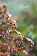 Decomposing fern (Dryopteris filix-mas), Tīreļpurvs, Zemgale, Latvia Ⓒ Davis Ulands   davisulands.com
