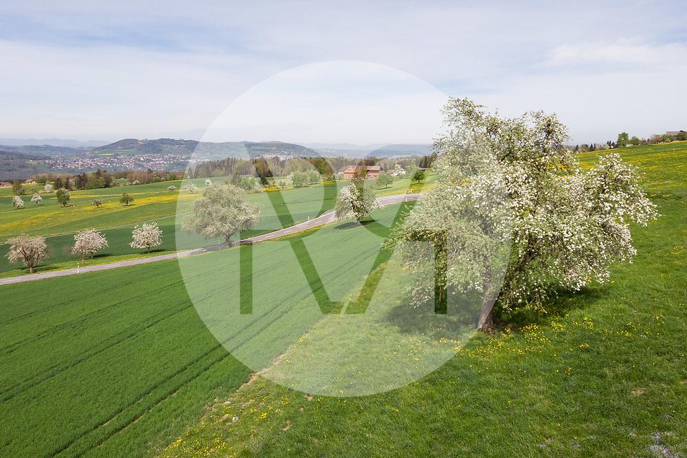 SCHWEIZ - HÄMIKON - Hochstamm-Obstbäume in einer Wiese und einem Getreidefeld - 24. April 2019 © Raphael Hünerfauth - https://www.huenerfauth.ch