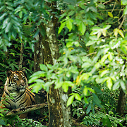 A critically endangered Sumatra tiger is seen under the forest canopy, Sumatra, Indonesia. Photo: Paul Hilton for RAN
