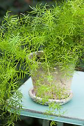 Asparagus aethiopicus 'Sprengeri' - Asparagus fern - in a clay pot