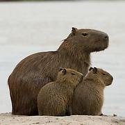 Capybara family, Pantanal, Brazil