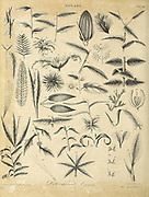 Different kinds of compound Leaves Copperplate engraving From the Encyclopaedia Londinensis or, Universal dictionary of arts, sciences, and literature; Volume III;  Edited by Wilkes, John. Published in London in 1810