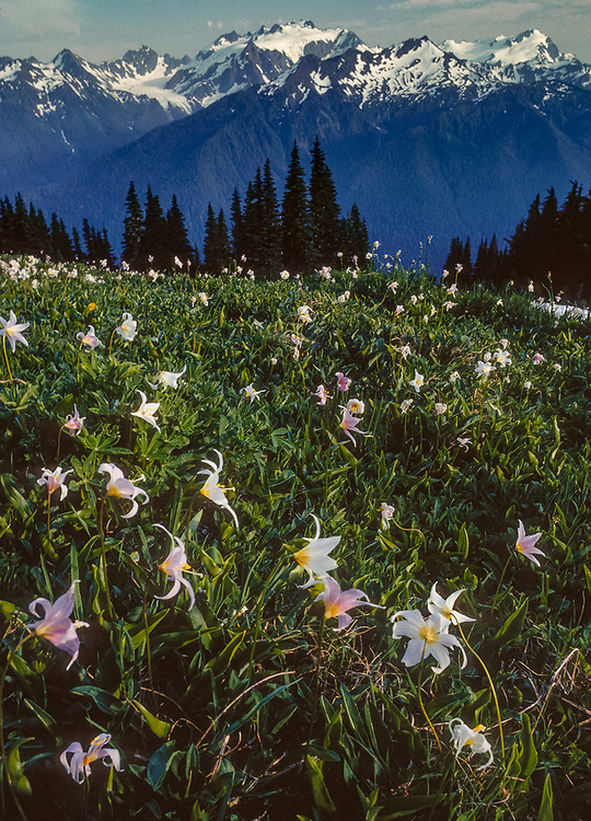 Avalanche lilies, Mount Olympus, view from the High Divide, Olympic National Park, Washington, USA