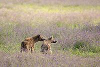 Two Spotted Hyenas, Crocuta crocuta, in Ngorongoro Crater, Ngorongoro Conservation Area, Tanzania