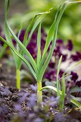 Allium sativum 'Solent Wight' - Garlic - with Polyanthus 'Stella Neon violet' and Mustard 'Red Dragon'