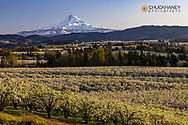 Fruit orchards in full bloom with Mount Hood in Hood River, Oregon, USA