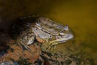 California Red-Legged Frog, Pinnacle National Monument, CA.