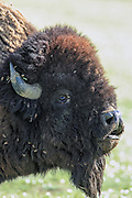 Close up of Giant wild bull bison.