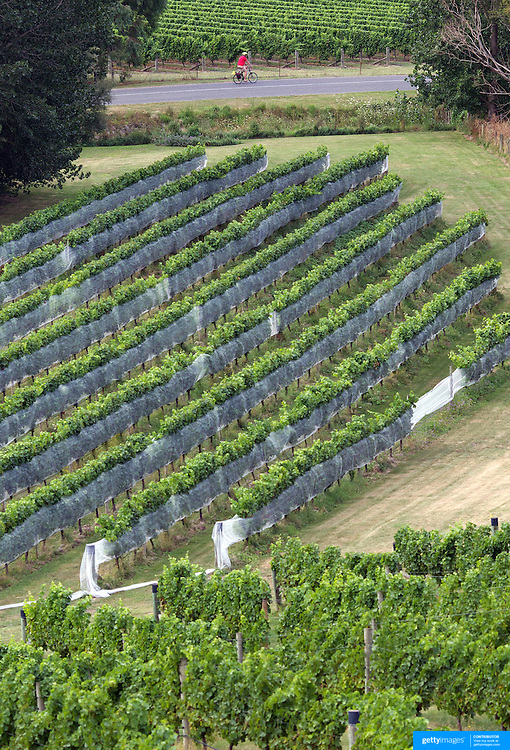 Cyclists make their way around the vineyards of the Marlborough Wine Region, with Wine Tours by Bike. Marlborough has over 40 wineries within a 10km radius of Blenheim. Marlborough, South Island, New Zealand...The Marlborough wine region is New Zealand's largest wine producer. The Marlborough wine region has earned a global reputation for viticultural excellence since the 1970s. It has an enviable international reputation for producing the best Sauvignon Blanc in the world. It also makes very good Chardonnay and Riesling and is fast developing a reputation for high quality Pinot Noir. Of the region's ten thousand hectares of grapes (almost half the national crop) one third are planted in Sauvignon Blanc. Marlborough, New Zealand, 13th February 2011. Photo Tim Clayton
