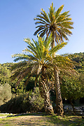 Israeli forest on Mount Carmel mostly introduced pine trees and palms