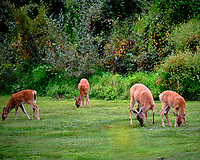 Early morning Doe and three Fawns. Image taken with a Fuji X-T3 camera and 200 mm f/2 OIS lens (ISO 400, 200 mm, f/2, 1/300 sec).