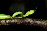 Taiwan green bamboo viper, Trimeresurus stejnegeri. Endemic. Jhihben National Forest Recreation Area, Taitung, Taiwan