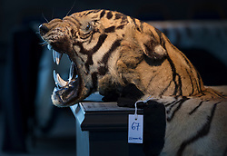 © Licensed to London News Pictures. 17/11/2016. Billingshurst, UK. A large tiger skin rug with mounted head is displayed with other animals at Summers Place Auctions ahead of their sale in their 'Evolution' Auction taking place on November 22, 2016 - which will also see a rare dodo skeleton up for sale.   Photo credit: Peter Macdiarmid/LNP