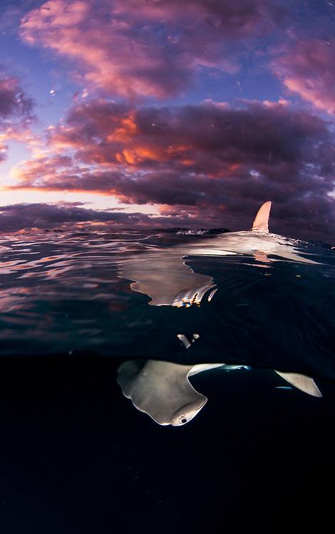 Great hammerhead shark (Sphyrna mokarran) at the surface at sunset off Bimini in The Bahamas.