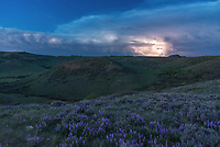 On this evening I went out for the sunset but stayed for the lightning. This is a spot close to home that I discovered last month. It's a great place to hike except for the abundance of ticks. We're at the time of year where spring progresses very quickly. Many trees seem to leaf-out almost overnight and wildflowers bloom out of nowhere. This hillside was covered in lupine, which is one of the most widespread wildflowers in North America. After the warmest day of the year, the air still felt very summer-like once the sun went down. I watched this thunderstorm go up to the east, and just waited for the first bolts of lightning to flash into the blue twilight sky. Even though it was almost 70 miles away, it was clearly visible.
