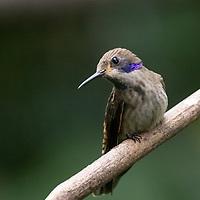 Colibri delphinae,  <br /> Cinchona region, northern Costa Rica, June 2021