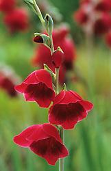 Gladiolus papilio 'Ruby' syn. G. purpureoauratus