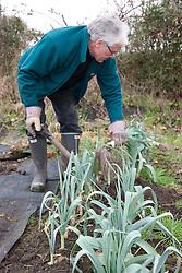 Man digging leeks on an allotment.