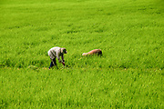 Working in a rice paddy Photographed in Vietnam, Mekong River Delta