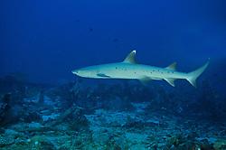 Triaenodon obesus, Whitetip reef shark, Weissspitzen-Riffhai, Hai, Bali Barat Nationalpark, Insel Menjangan, Indonesien, Asien, Indopazifik, Island Menjangan, Indonesia, Indo-Pacific Ocean, Asia