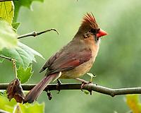 Northern Cardinal. Image taken with a Nikon N1V3 camera and 70-300 mm VR lens.