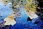 Leaves float on top of a puddle reflecting ones yet to fall in the parking lot at Sacajawea State Park.