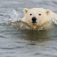 Polar bear cub of the year swimming in the waters of the Beaufort Sea near Kaktovik Alasak on Barter Island