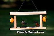 00585-034.07 Gray Catbird (Dumetella carolinensis) & Orchard Oriole (Icterus spurius) male at jelly/orange feeder Marion Co.  IL