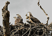 Osprey chicks, 6-7 weeks old<br /> *ADD TO CART FOR LICENSING OPTIONS*