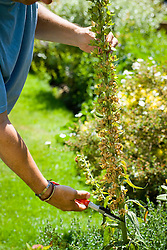 Collecting foxglove seeds. Cutting a stem that has finished flowering and set seed