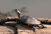 The small turtle struggled to climb up on the log but once it made the top, he relaxed and spread out to catch the rays of the sun.