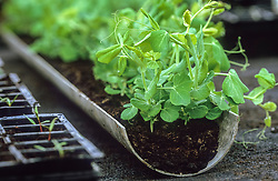 Peas sown in a gutters