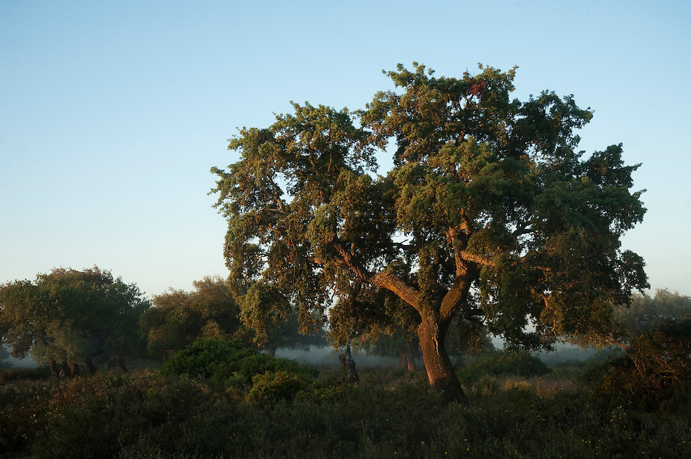 Cork trees (Quercus suber) and Wild Olive (Olea ueropaea var. sylvestris) with a rich abundance of natural underbush made up of Mastic (Pistacia lentiscus, Fillirea (Phyllirea angustifolia), strawberry tree (Arbutus uneda), Myrtle (Myrtus communis) and Bracken Fern (Pteridium aquilinum)<br /> These areas are some of the best examples of natural vegetation which have almost disappeared from the area.<br /> Doñana National & Natural Park. Huelva Province, Andalusia. SPAIN<br /> 1969 - Set up as a National Park<br /> 1981 - Biosphere Reserve<br /> 1982 - Wetland of International Importance, Ramsar<br /> 1985 - Special Protection Area for Birds<br /> 1994 - World Heritage Site, UNESCO.<br /> The marshlands in particular are a very important area for the migration, breeding and wintering of European and African birds. It is also an area of old cultures, traditions and human uses - most of which are still in existance.<br /> <br /> Mission: Iberian Lynx, May 2009<br /> © Pete Oxford / Wild Wonders of Europe<br /> Zaldumbide #506 y Toledo<br /> La Floresta, Quito. ECUADOR<br /> South America<br /> Tel: 593-2-2226958<br /> e-mail: pete@peteoxford.com<br /> www.peteoxford.com