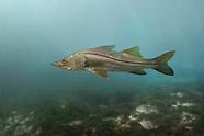 Common Snook, Underwater