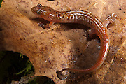 Ocoee Salamander (Desmognathus ocoee)<br /> CAPTIVE<br /> North Georgia<br /> USA<br /> HABITAT & RANGE: High-elevation seeps, first-order streams, wet rock faces & mixed hardwood forests adjacent to streams, often on mosses. Southern Tennessee, sw North Carolina, Southern South Carolina & Georgia