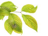 Gray Treefrog (Hyla versicolor) on Flowering Dogwood Leaves (Cornus floridus)