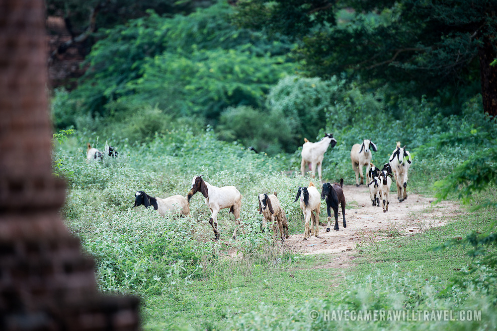 BAGAN, Myanmar (Burma) - A herd of goats being shepherded along a dirt track through the pagodas in Bagan. Capital of the ancient Kingdom of Pagan, Bagan features thousands of temples and pagodas, some of which date back to the 9th century.