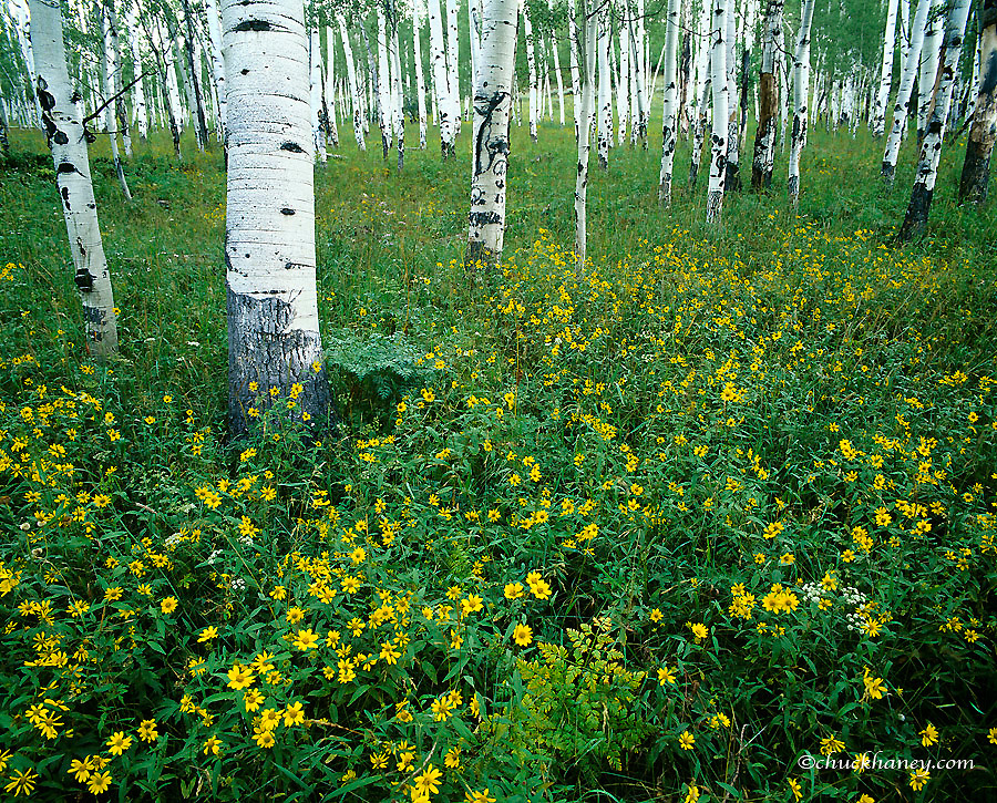 Wildflowerrs in aspen grove in the Routt National Forest in Colorado