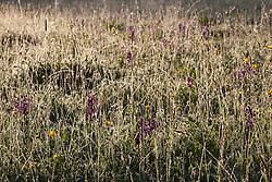 Green Winged Orchids in Marden Meadow. Orchis morio, Anacamptis morio